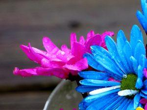 daisys_flowers_rain