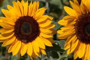 sunflower-165888_1920