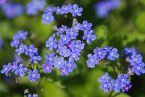 flower_blue_close